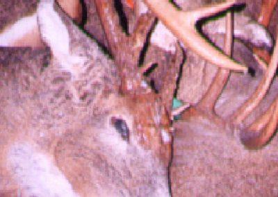 age-your-deer-18